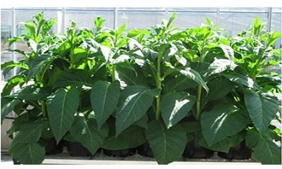 Công nghệ chỉnh sửa gene giúp cây trồng sinh trưởng và phát triển tốt trong điều kiện thiếu nước